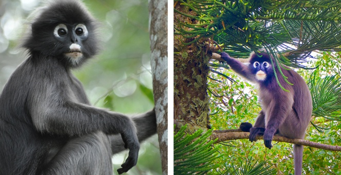 http://www.penanghill.gov.my/images/attraction/The-Dusky-Leaf-Monkey.jpg