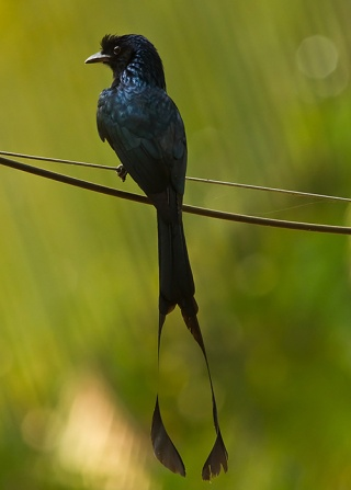 http://www.penanghill.gov.my/images/attraction/Greater-Racket-tailed-Drongo.jpg
