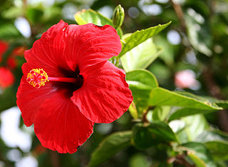 https://upload.wikimedia.org/wikipedia/commons/thumb/2/21/Hibiscus_Brilliant.jpg/320px-Hibiscus_Brilliant.jpg