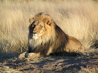 https://upload.wikimedia.org/wikipedia/commons/thumb/7/73/Lion_waiting_in_Namibia.jpg/320px-Lion_waiting_in_Namibia.jpg