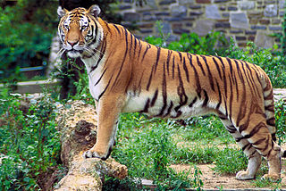 https://upload.wikimedia.org/wikipedia/commons/thumb/4/49/Panthera_tigris_tigris.jpg/320px-Panthera_tigris_tigris.jpg