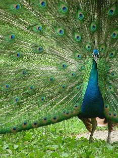C:\Users\user\Pictures\India\360px-Peacock_with_outspread_plumes.JPG