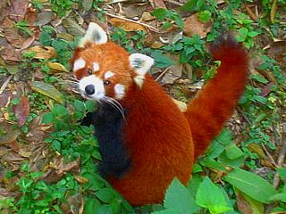 https://upload.wikimedia.org/wikipedia/commons/thumb/9/94/Red_Pandain_Darjiling_Zoo.jpg/320px-Red_Pandain_Darjiling_Zoo.jpg
